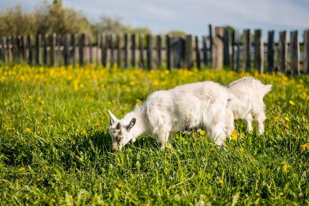 Im frühjahr laufen zwei ziegenbabys auf einer blühenden wiese