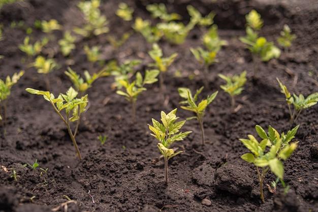 Im frühjahr wachsen viele kleine tomatensämlinge aus dem boden