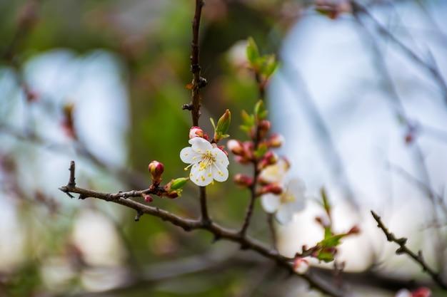 Im frühling blühen in den gärten japans apfel und kirsche.