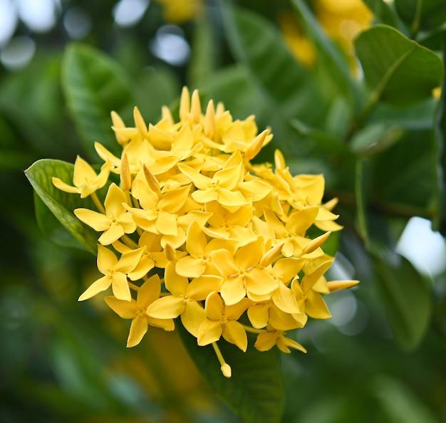 Im garten blüht eine schöne gelbe ixora-blume mit grünen blättern.
