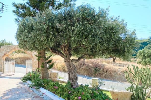 Im garten wachsen alte olivenbäume.