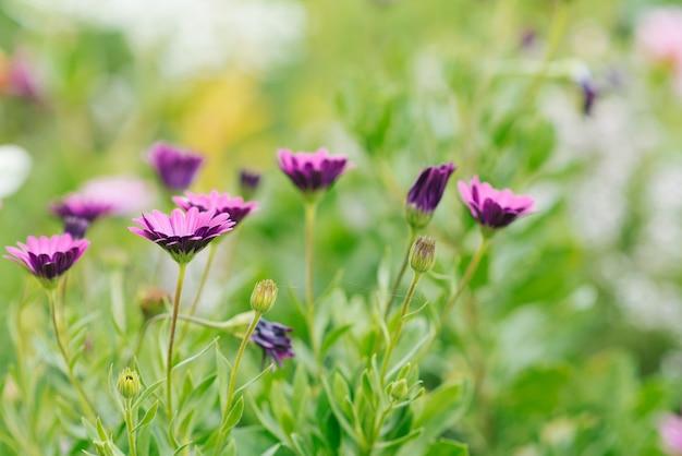 Im garten wachsen lila blüten von osteospermum