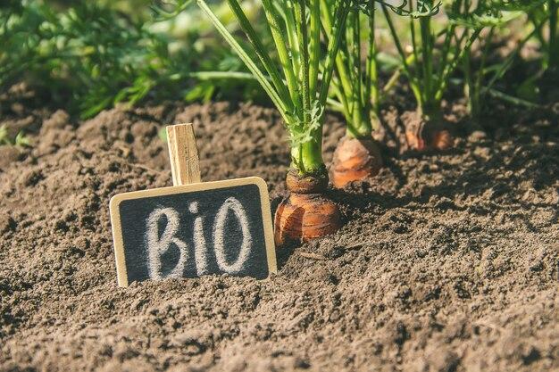 Im garten wachsen selbst gemachte bio-karotten. selektiver fokus