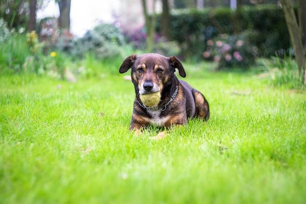 Im garten wurde ein hund gefunden, der sich mit seinem tennisball ausruhte
