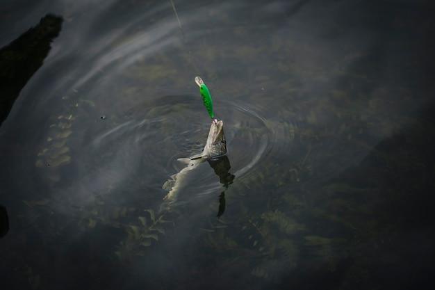 Im haken gefangener fisch erschien auf der wasseroberfläche