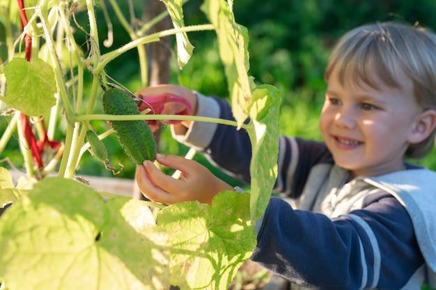 Im herbst gurken pflücken. gurke in den händen eines kleinen jungen, der mit einer schere erntet.