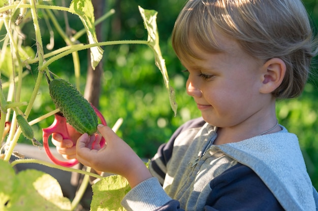 Im herbst gurken pflücken. gurke in den händen eines kleinen jungen, der mit einer schere erntet. Premium Fotos