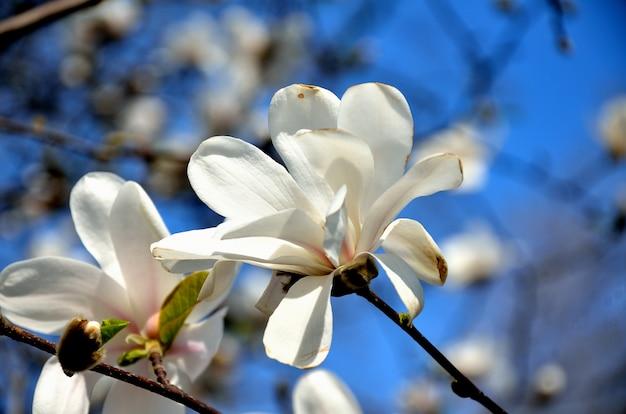 Im park, am sonnigen tag des gartenfrühlings, blüht magnolie.