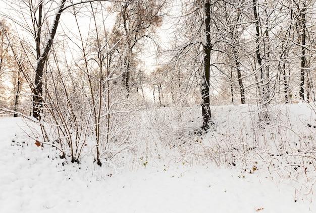 Im park wachsende bäume, die nach dem letzten schneefall mit schnee bedeckt sind. von pflanzenzweigen, machte eine nahaufnahme in einer kleinen schärfentiefe. wintersaison. der himmel im hintergrund.