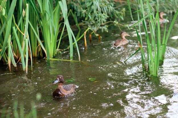 Im see schwimmen büschelenten. .eine horizontale aufnahme von niedlichen enten, die in einem see schwimmen.