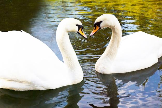 Im see schwimmen zwei weiße schwäne. das ist liebe. das konzept der ewigen liebe und loyalität. die schwanenfamilie
