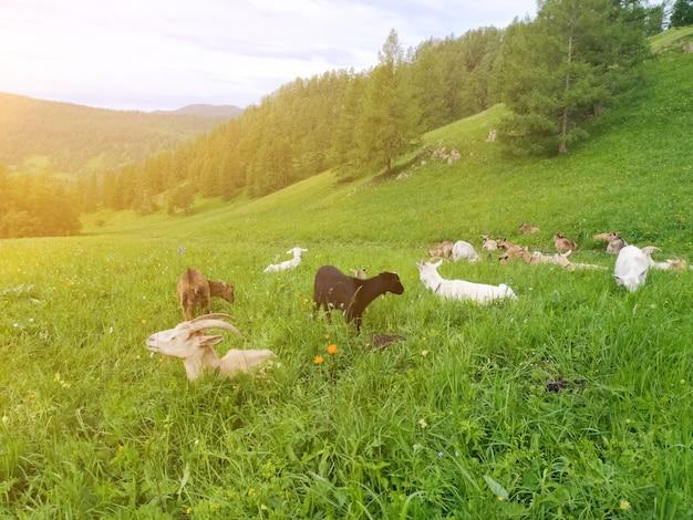 Im sommer grasten im altai-gebirge ziegen, die von der sonne beleuchtet wurden. handyfoto.