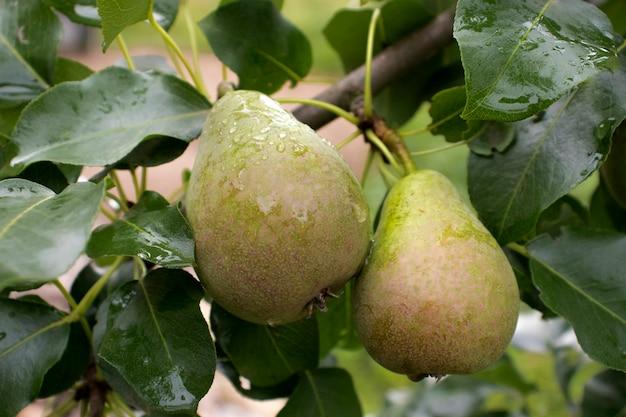 Im sommer hängen reife birnen an einem ast im garten. das konzept des anbaus von bio-lebensmitteln, gartenarbeit, bauernhof, birnen im garten