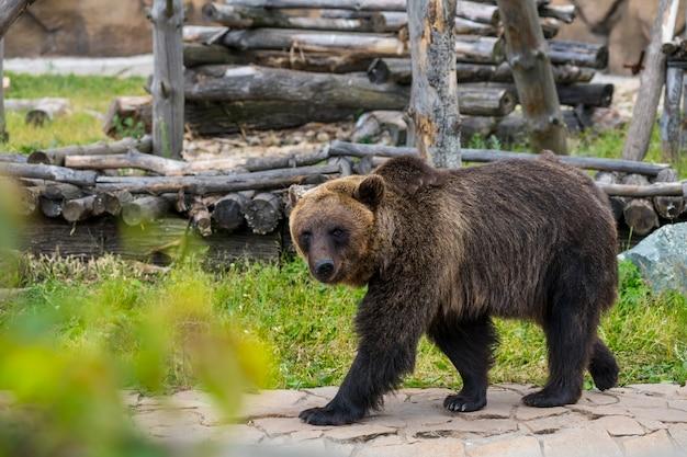 Im sommer läuft ein braunbär auf seinem grundstück im zoo herum