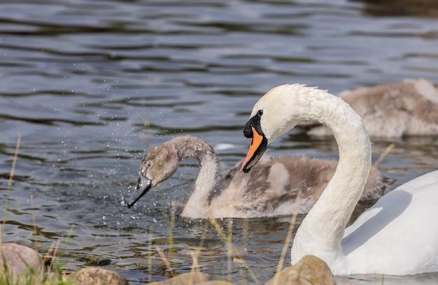 Im sommer schwimmen erwachsene weiße und junge graue schwäne im teich. vögel.