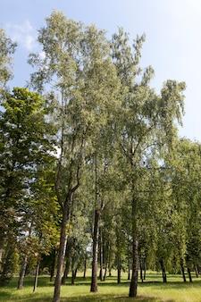 Im sommer wachsen in der nähe birken