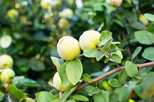 Im sommergarten wachsen reife bio-quittenfrüchte. reife quittenfrucht wächst auf einem quittenbaum mit grünem laub im herbstgarten, nahaufnahme. erntekonzept. vitamine, vegetarismus, früchte.