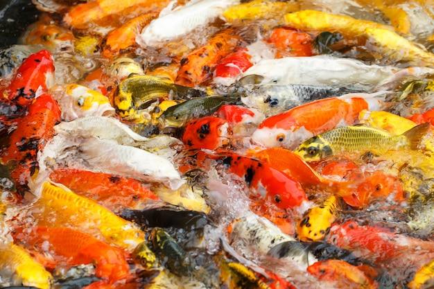 Im teich schwimmen wunderschöne karpfen oder koi-fische