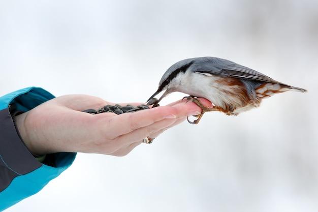 Im winter hungrige vögel füttern. kleiber nimmt sonnenblumenkerne aus einer hand. sitta europaea