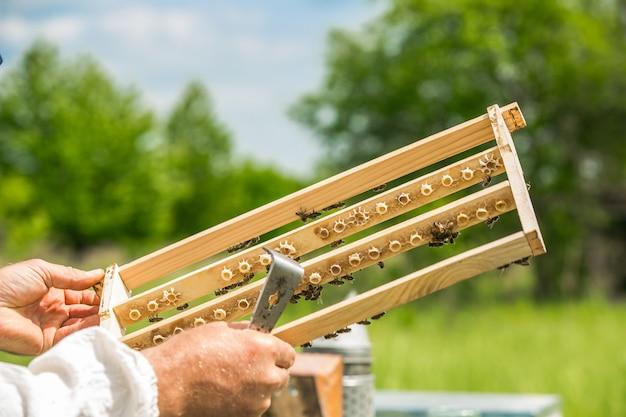 Imker arbeitet in einem bienenstock - fügt rahmen hinzu und beobachtet bienen. bienen auf waben. rahmen eines bienenstocks. imkerei.