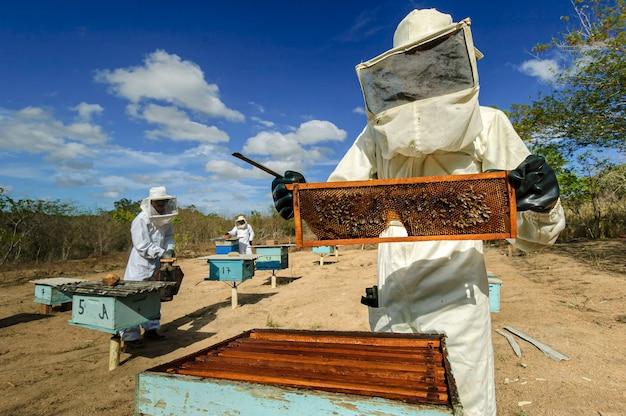 Imker mit waben in den händen sammeln bienenhonig in jacarau paraiba brasilien