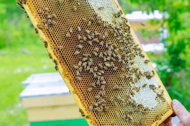 Imker steht in der nähe der bienenstöcke und hält waben in nahaufnahme