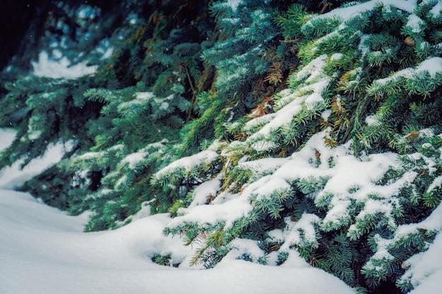 Immergrüne bäume im winter