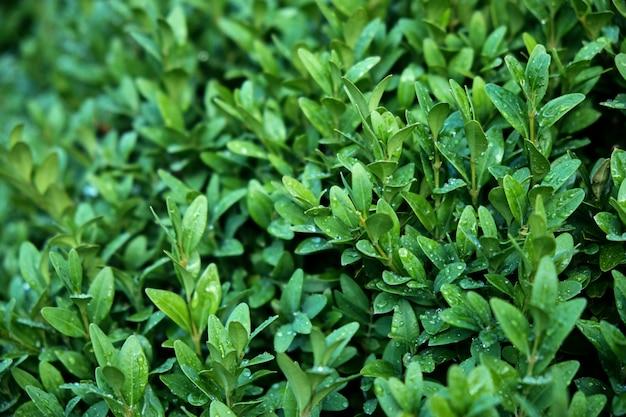 Immergrüne strauchblätter. tropfen nach regen