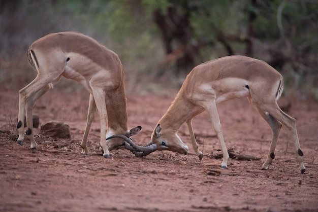 Impala-antilopen in einer scheinschlacht mit einem unscharfen hintergrund