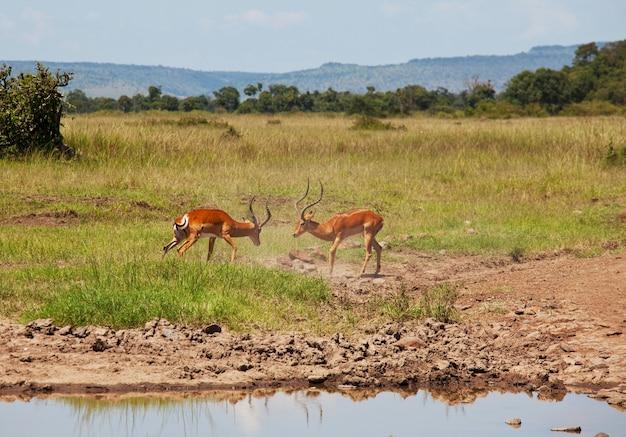 Impala-antilopenmännchen kämpfen um territorium und um weibchen. masai mara nationalpark, kenia. safari mit afrikanischen tieren