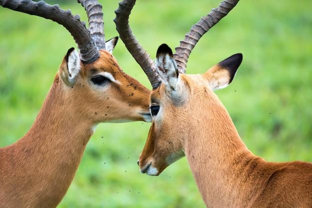 Impala familie auf einer graslandschaft in der kenianischen savanne