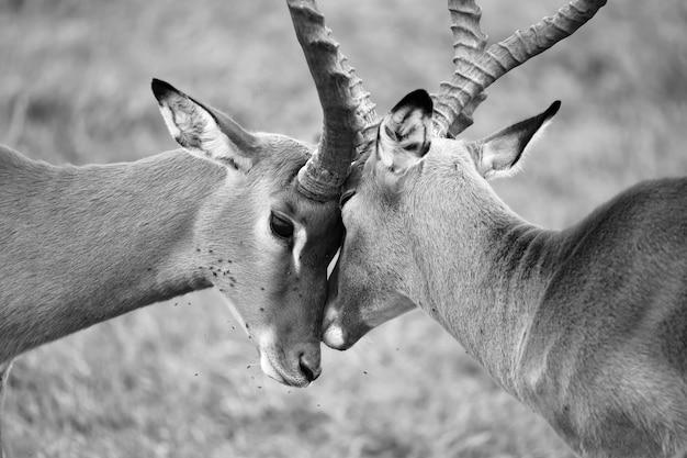 Impala familie auf einer graslandschaft in der savanne