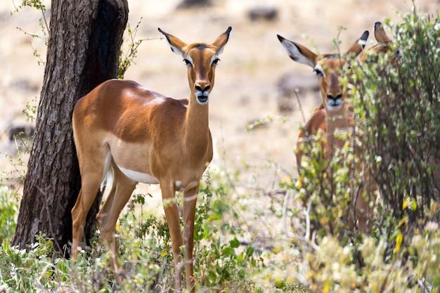 Impala-gazellen weideten in der savanne kenias