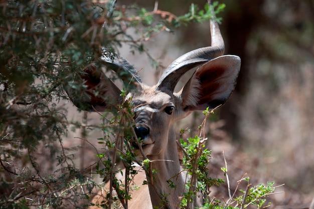 Impala wildtiere in kenia