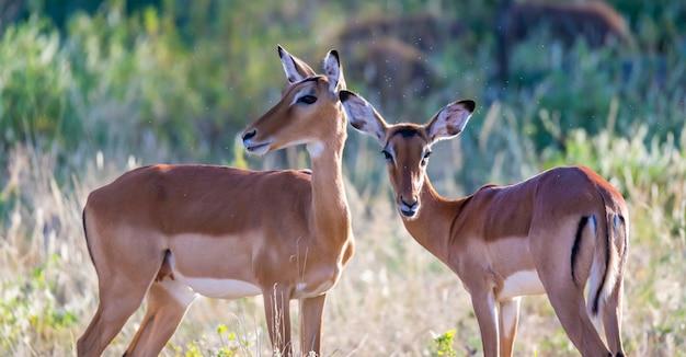 Impalas stehen zusammen in der graslandschaft