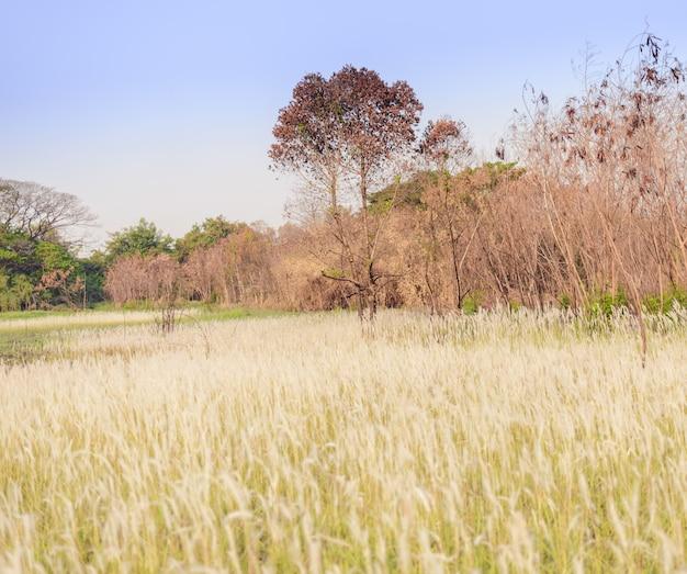 Imperata cylindrica beauv des federgrases in der natur