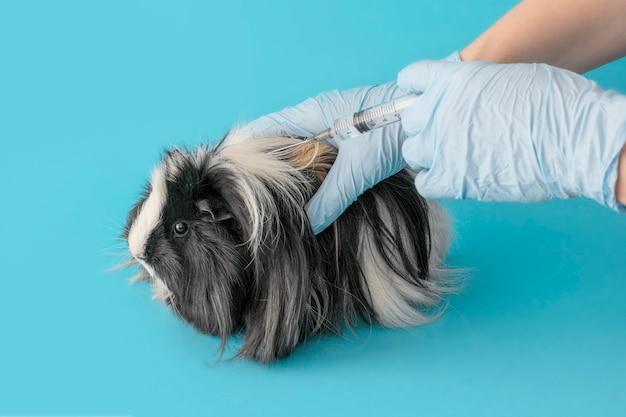 Impfung von haustieren. meerschweinchen an der rezeption beim tierarzt. meerschweinchen-träger-lamblia. Premium Fotos