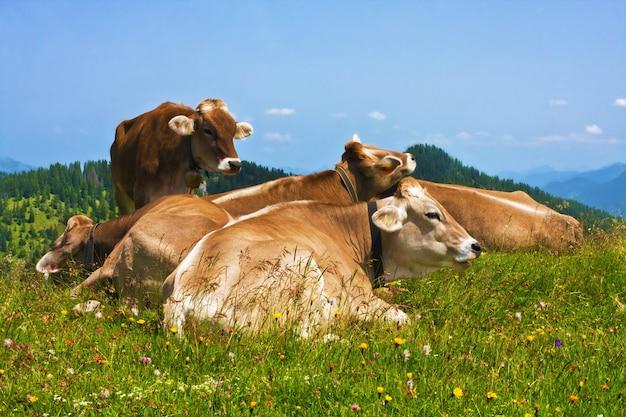 In den alpen weidende kühe