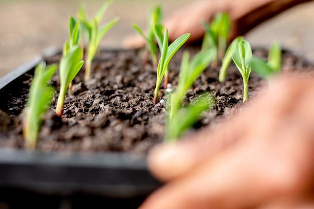 In der baumschulschale wachsen maissämlinge.