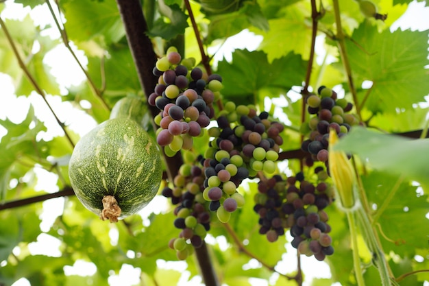 In der nähe der trauben wächst eine ungewöhnliche kürbissorte