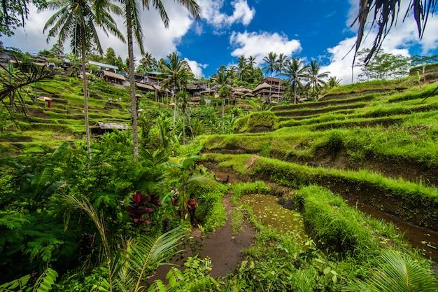 In der nähe des kulturdorfes ubud befindet sich das als tegallalang bekannte gebiet mit den dramatischsten terrassenförmig angelegten reisfeldern in ganz bali.