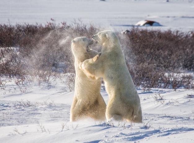 In der tundra spielen zwei eisbären miteinander. kanada.