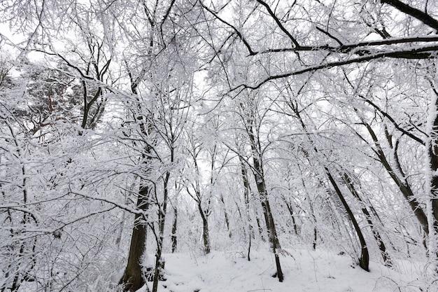 In der wintersaison mit schnee und eiswald bedeckt, winterwald mit bäumen ohne laub
