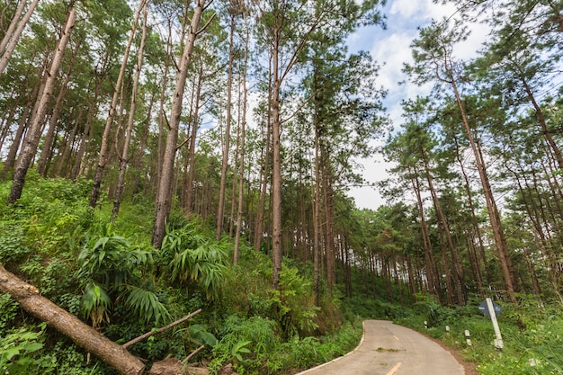 In die treetops eines kiefernwaldhintergrundes oben schauen, naturkonzept