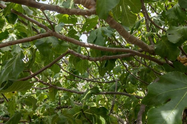 In einem feigenbaum