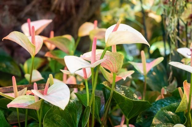 In einem gewächshaus wächst eine weiß blühende spatiphyllum-blume.
