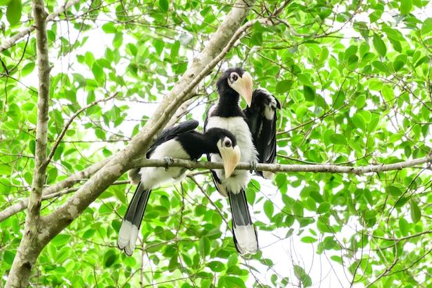 In einem kompletten wald an manchen tagen werden wir einen lebenden schwarzen nashornvogel finden