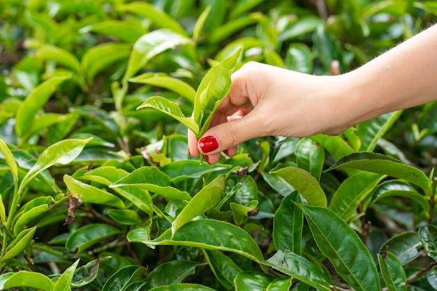 In nahaufnahme sammelt das mädchen sanft die oberen blätter des tees aus grünen büschen hoch in den bergen. tea valley teeproduktion