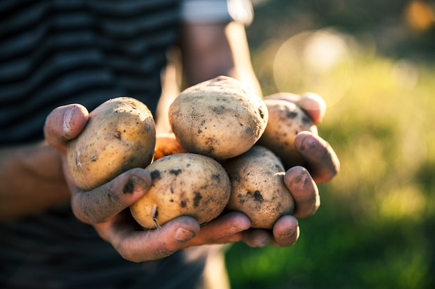 In seinem garten angebaute kartoffeln. bauer hält gemüse in den händen. essen