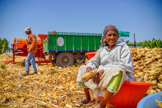 Indische alte frau, die mais am landwirtschaftsfeld erntet